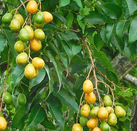 """Contraceptive Activity Of Hog Plum Leaves; locally called """"Atoa"""""""